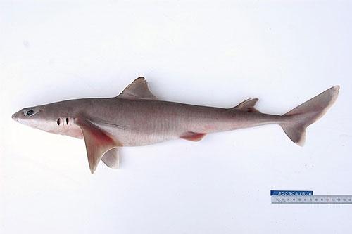 ツノザメ属の一種。大きな個体でも体長1メートルほど。(写真提供:佐藤圭一)