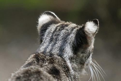 ツシマヤマネコの耳はイエネコに比べて小さく、先は丸い。耳の後ろの白い斑点「虎耳状斑(こじじょうはん)」はトラやヒョウ、そして、イリオモテヤマネコにもある。