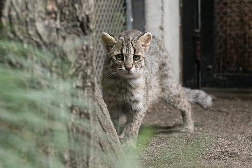 """井の頭自然文化園は日本の絶滅危惧種ツシマヤマネコがいる9つの動物園のひとつ。公式サイトは<a href=""""http://www.tokyo-zoo.net/zoo/ino/"""" target=""""_blank"""">こちら</a>。"""