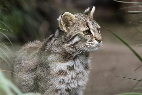 「山猫」というほどツシマヤマネコは山にはいないという。