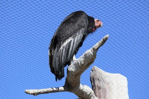 カリフォルニアコンドル。米サンディエゴ動物園で撮影。(写真:川端裕人)