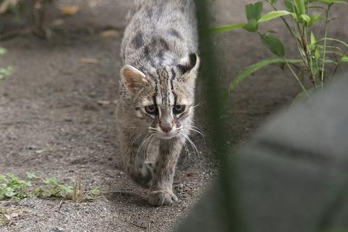 ツシマヤマネコの野生復帰も検討されている。ここ井の頭自然文化園が人工繁殖に成功すれば、実現の可能性はより高まるはずだ。