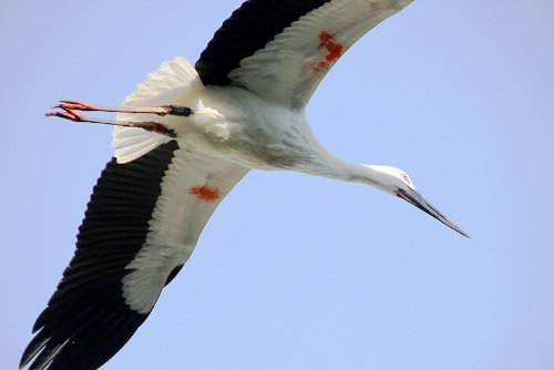野生復帰に成功した兵庫県豊岡市のコウノトリ。翼を広げたときの大きさは2mを超える立派な鳥だ。(写真提供:豊岡市)