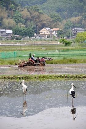 野生復帰に成功したコウノトリはいまでは地元の「プライド」になった。(写真提供:豊岡市)