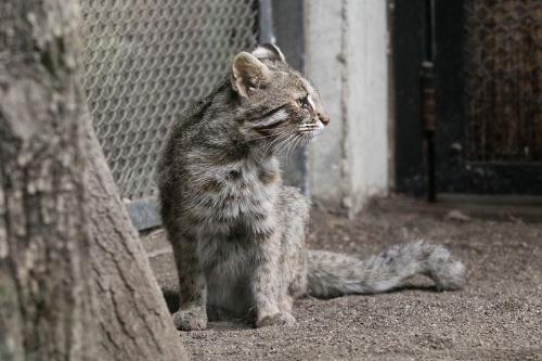 井の頭自然文化園のツシマヤマネコ。野生復帰を目指して飼育されている。