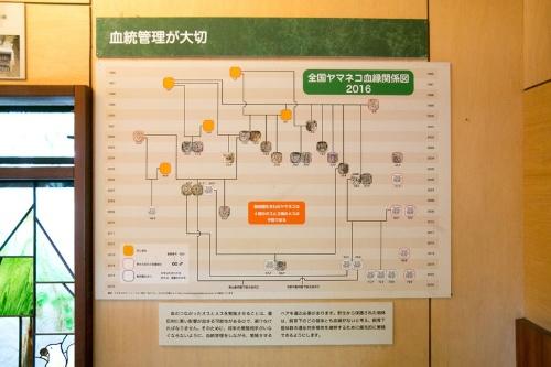 動物園が飼育するツシマヤマネコの血統はシステマチックに管理されている。井の頭自然文化園「ヤマネコミニ特設展」の解説より。