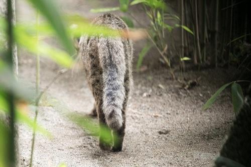 ツシマヤマネコのしっぽは太く、20~28cmと短めだ。