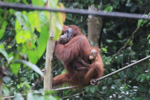 オランウータンは少子化の先輩? こちらはマレーシア、サバ州にある「セピロク・オランウータン・リハビリテーションセンター」の母子。(写真提供:川端裕人)