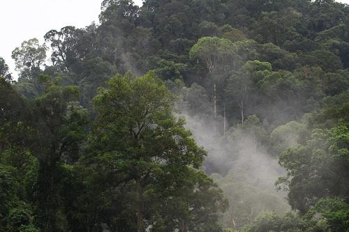ダナムバレイの森。ぼくはボルネオ島のダナムバレイを2010年に訪ね、一緒にオランウータンを追う貴重な体験をさせてもらった。(写真提供:川端裕人)