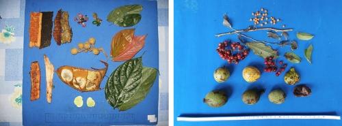非果実季1日に母親が食べていた食物(左)と、(一斉結実ではない)果実季1日に食べていた食物(右)。(写真提供:久世濃子)
