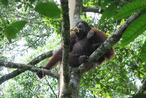 樹皮を食べる雄。顔に「フランジ」と呼ばれるヒダが発達した優位の個体。(写真提供:久世濃子)
