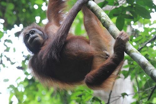 樹上性の割に、オランウータンの目の輪郭は横長だ。(写真提供:川端裕人)