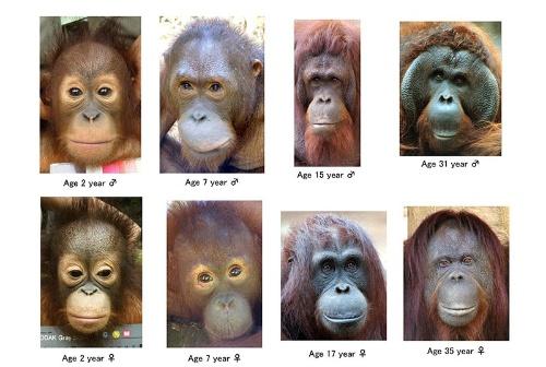 成長に伴うオランウータンの顔形態の変化。3歳(Age 3 year)までは目と口の周りが白いが、7歳までに口の周りは黒くなり、15歳までに目の周りも黒くなる。(画像提供:久世濃子)