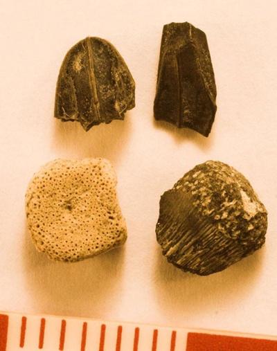 ハドロサウルスの幼体の化石をクローズアップで撮影。左上から時計回りに、歯、歯、尺骨、脊椎。脊椎に小さな穴がたくさん空いているのは、まだ骨化が進んでいなかったためと考えられる。(写真提供:宮下哲人)
