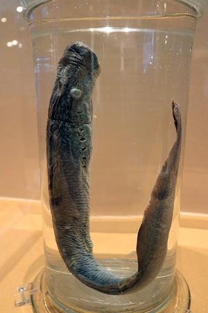脊椎動物の起源を探るテーマのために宮下さんが扱っている生物であるヤツメウナギの仲間(ミツバヤツメ)の標本。(写真:ナショナル ジオグラフィック)