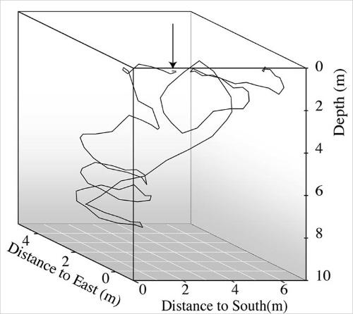 西に泳いだ個体の放流直後の行動を3次元的に描いた図。矢印が放流地点で、58秒後にいったん底に着き、110秒後までを図に描いた。やはりぐるぐるしている。(Mumi Kikuchi et al. , Journal of ethology, 30, pp187-190, 2011.より)