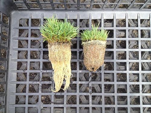 従来の肥料で栽培した芝(右)に比べて根の育ちが速い(左)