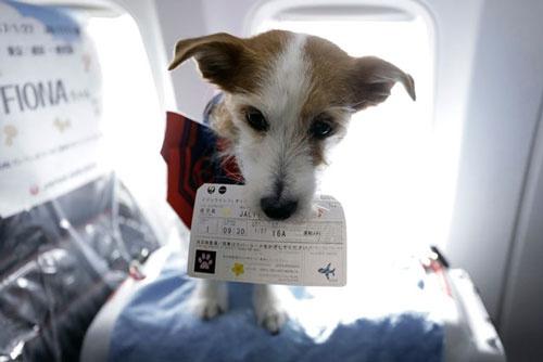 「JALワンワンJET」でワンちゃん用搭乗券をくわえるイヌ
