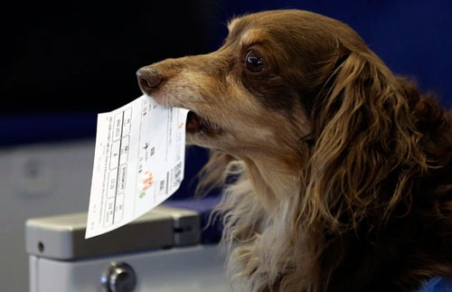 成田空港で手作りの搭乗券をくわえるイヌ