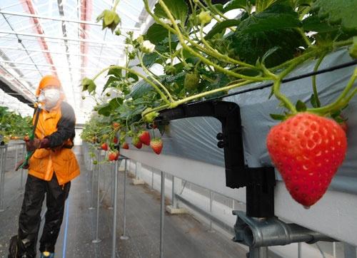 先端設備をそなえたイチゴ農場(宮城県山元町)