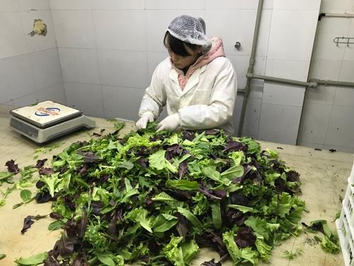 茎が折れていたり、変色したりしているベビーリーフをはじく作業(上海市奉賢区)