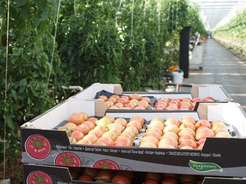 収穫されたトマト。農場がどこまでも続く。(写真は今井氏提供)