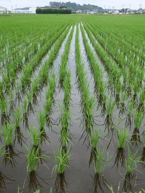 主食のコメか飼料米か、補助金農政で農家が揺れている