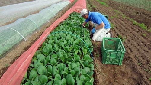 主力の小松菜。「つくり過ぎ」で農業の難しさを知った。(写真提供:アーバンファーム八王子)