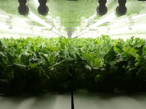 LEDの光が照らす七尾工場の栽培棚(写真提供:バイテック、石川県七尾市)