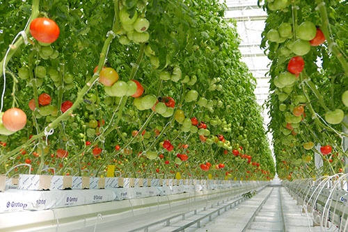 オリックスが富士通と共同で作ったトマト農場(静岡県磐田市)
