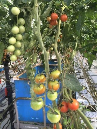 アグリビジョンの施設で育つトマト。特殊な栽培ノウハウがある(山梨県北杜市)