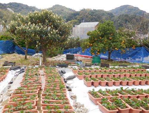 苗づくりに使う庭にはミカンやビワの木もある