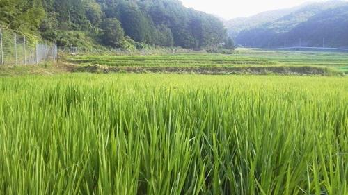 広い水田で生産の安定を目指す(山梨県北杜市、写真は吉野家HD提供)