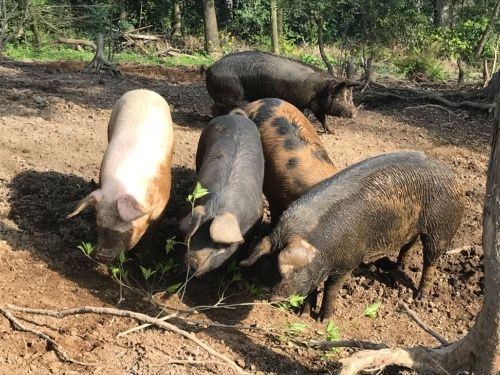 豚が荒れ地を開墾するえこふぁーむの放牧場(鹿児島県肝付町)