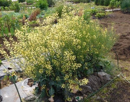 収穫を逃し、花が咲いたブロッコリー(マイファームの体験農園、横浜市神奈川区片倉)