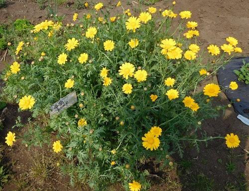春菊も育つと野菊そのものになる(マイファームの体験農園、横浜市神奈川区片倉)