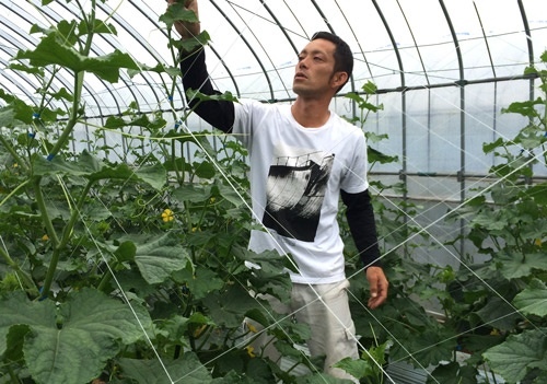 キュウリの盛期を迎えた上田芳樹さんの栽培ハウス。(京都府久御山町)