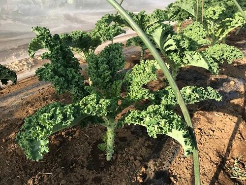 主力の野菜のケール。株によって形が違う(千葉県佐倉市の「在来農場」)