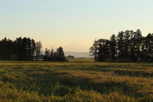 昨年9月、収穫前の酒米の田んぼ。まだ偽装被害は明らかになっていなかった(秋田県横手市、浅舞酒造のホームページより)