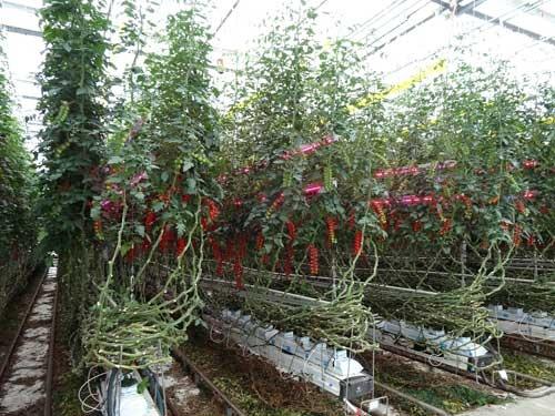 LEDを使ったトマトの補光試験圃場(オランダ、民間の研究・実証・研修・コンサル機関「Delphy社」)