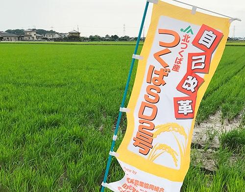 JA北つくばが増産を目指す「つくばSD2号」(茨城県筑西市)