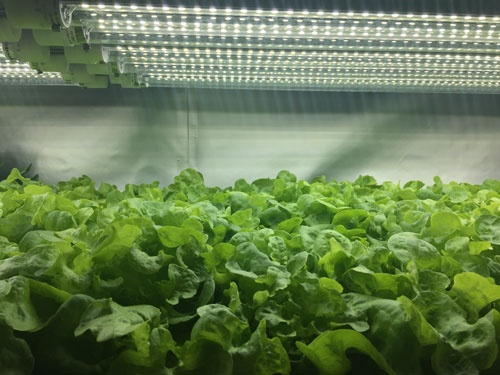 LEDを使う仕組みは普通の植物工場と同じ(西東京市の東大生態調和農学機構、写真提供:プランツラボラトリー)