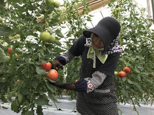 トマトは糖度が高く、子どもに人気(新潟県糸魚川市)