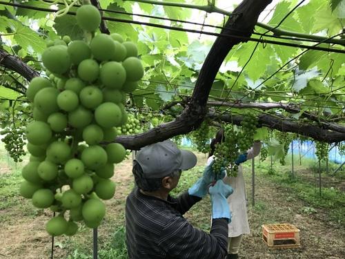 豊かに実ったブドウ園(新潟県糸魚川市)