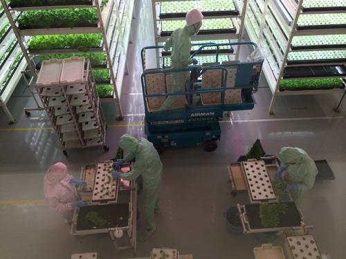 レタスの苗を移植するMIRAIのスタッフ(千葉県柏市)