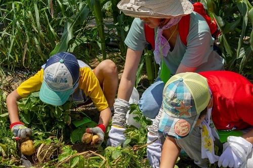 ジャガイモを掘る子どもたち(山梨県北杜市、写真提供:JTB)