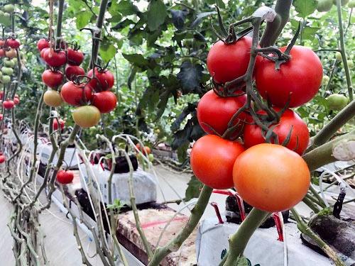 トマトの木をねじらない栽培方法(山梨県北杜市)