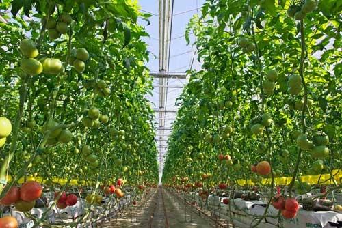 買収後、「廃虚」から再生したエア・ウォーターのトマト農園(北海道千歳市、エア・ウォーター提供)