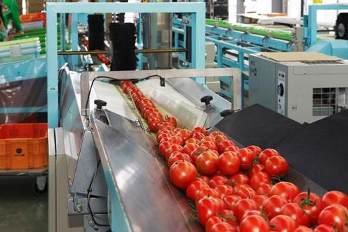 選果機を流れるトマト。品種と販路の多様化が黒字化につながった。(北海道千歳市、エア・ウォーター提供)