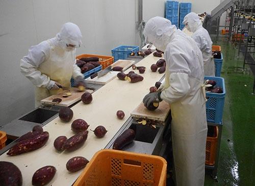 サツマイモの加工工場の様子(写真提供:白ハト食品工業、茨城県行方市)